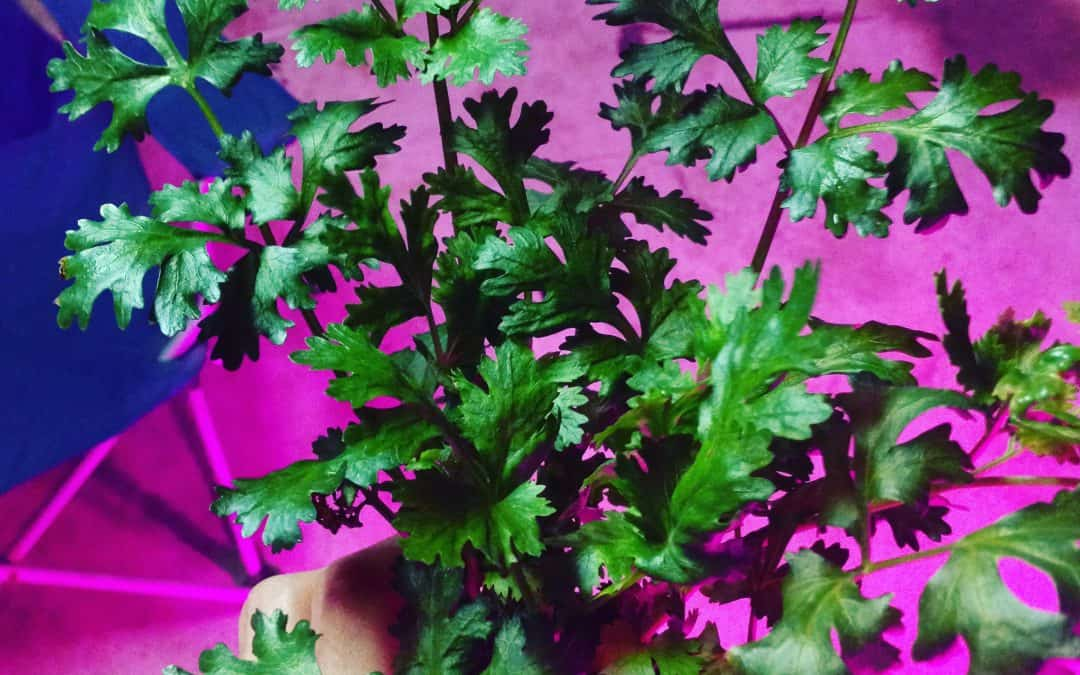 What Is Aeroponics Gardening?