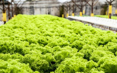 A Deep Dive On Deep Water Culture Hydroponics Systems