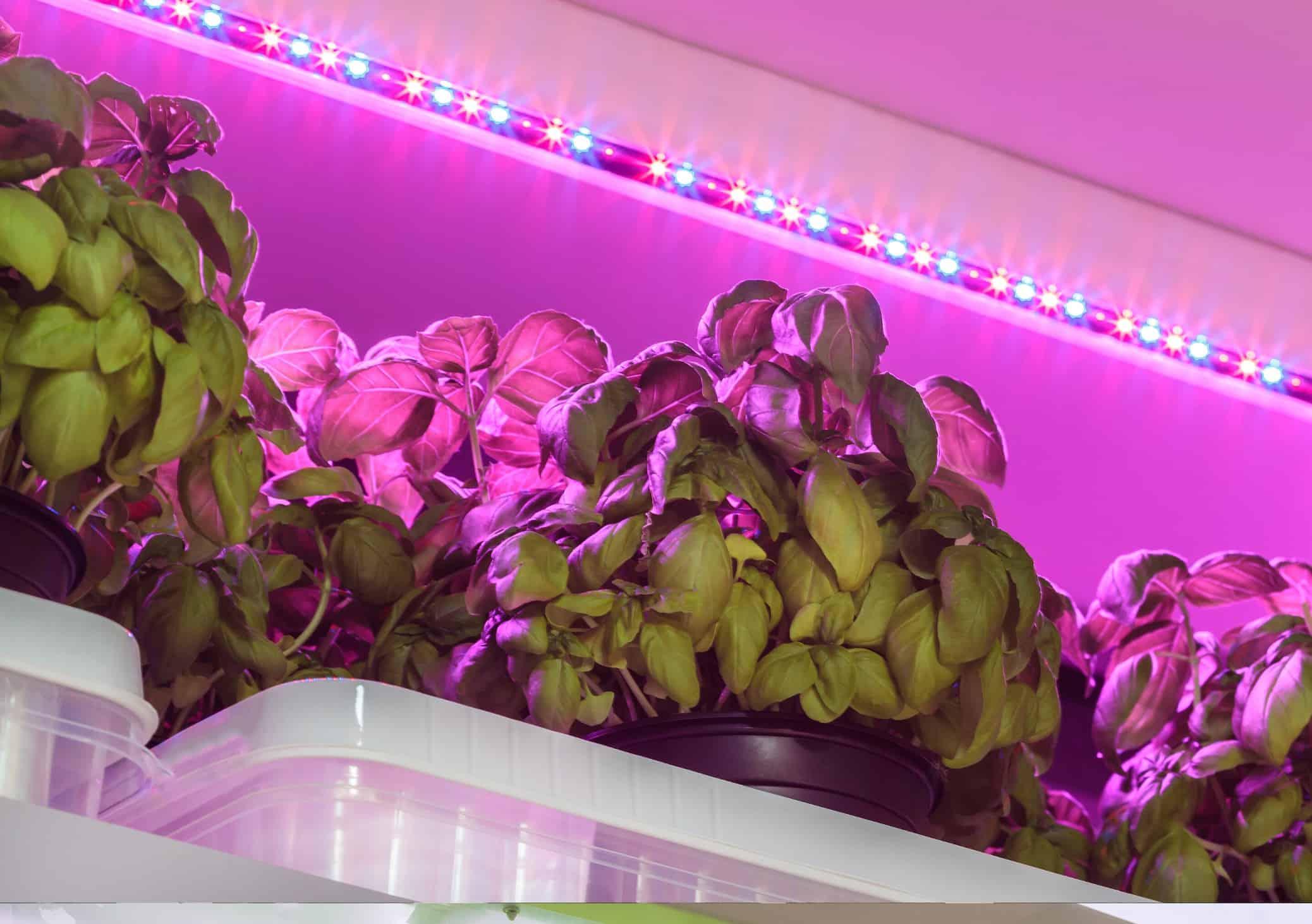 Vertical Farming Basil